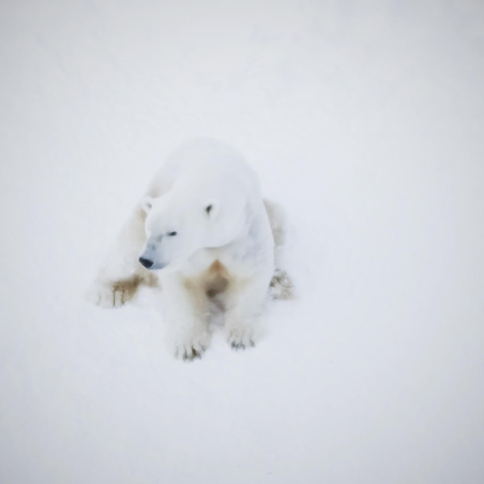 somdocents-animals-en-perill-d'extinció-ós-polar