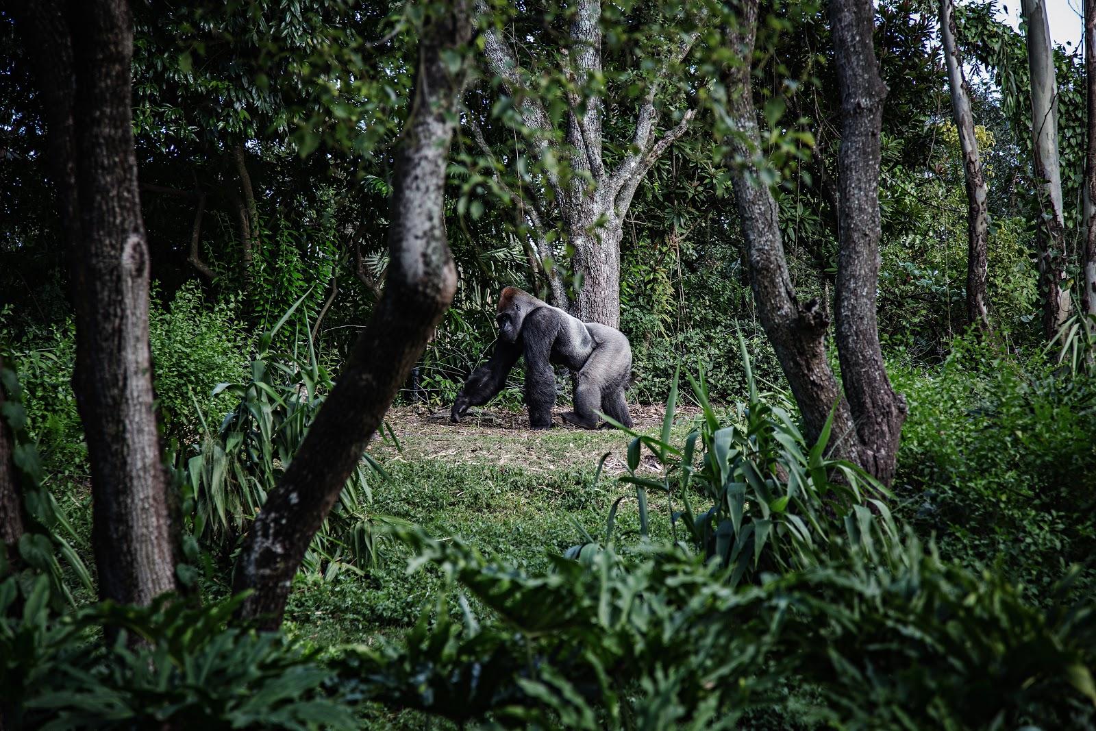 somdocents-animals-en-perill-d'extinció-goril·la
