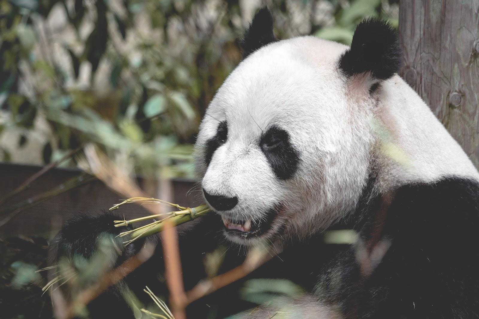 somdocents-animals-en-perill-d'extinció-ós-panda