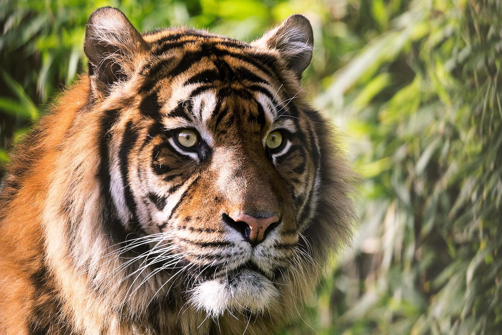 somdocents-animals-en-perill-d'extinció-tigre