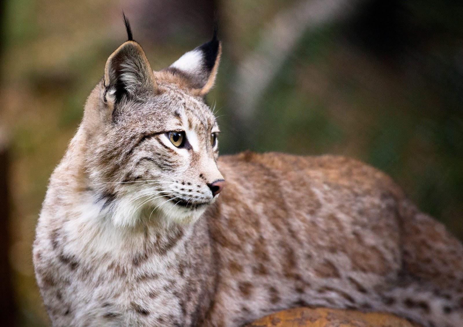 somdocents-animals-en-perill-d'extinció-linx
