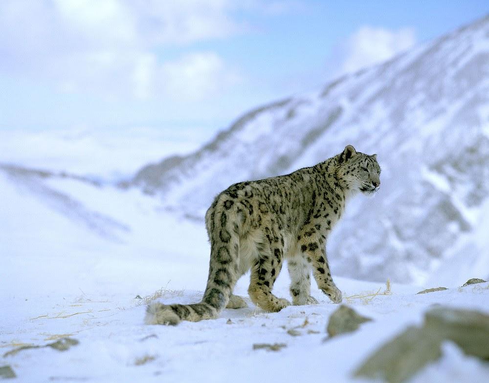 somdocents-animals-en-perill-d'extinció-lleopard