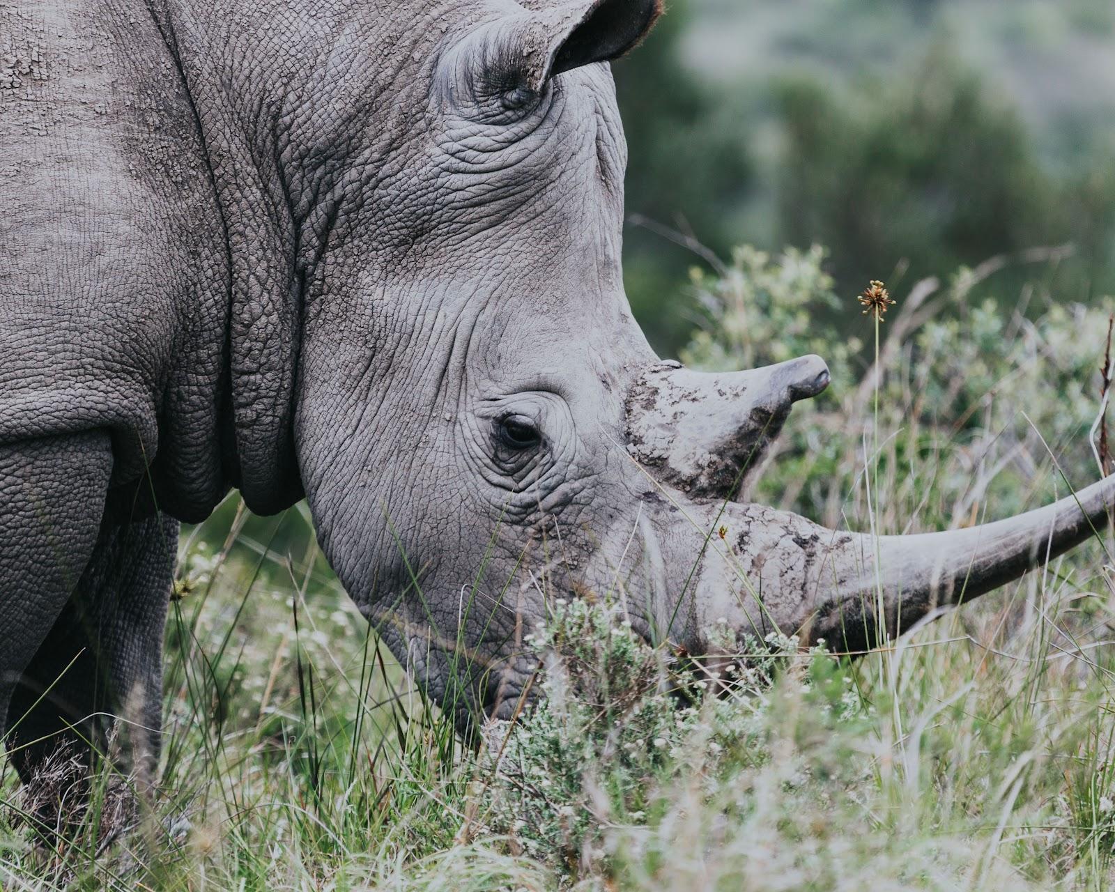 somdocents-animals-en-perill-d'extinció-rinoceront