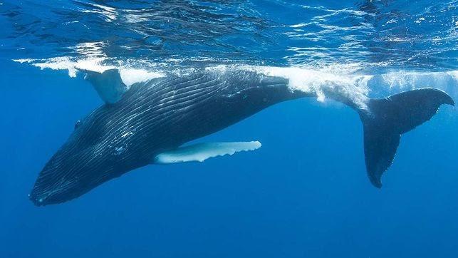 somdocents-animals-en-perill-d'extinció-balena