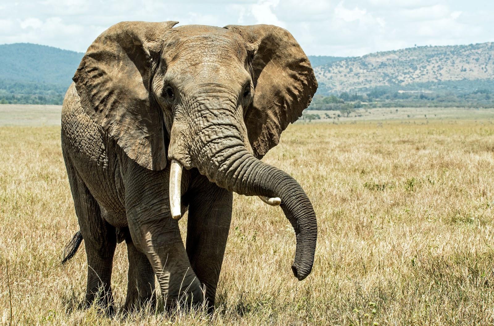 somdocents-animals-en-perill-d'extinció-elefant